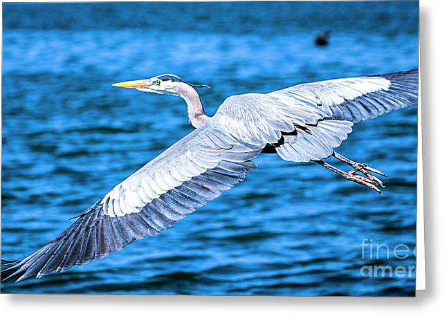 Greeting Card featuring the photograph Great Blue Heron Flight by David Millenheft
