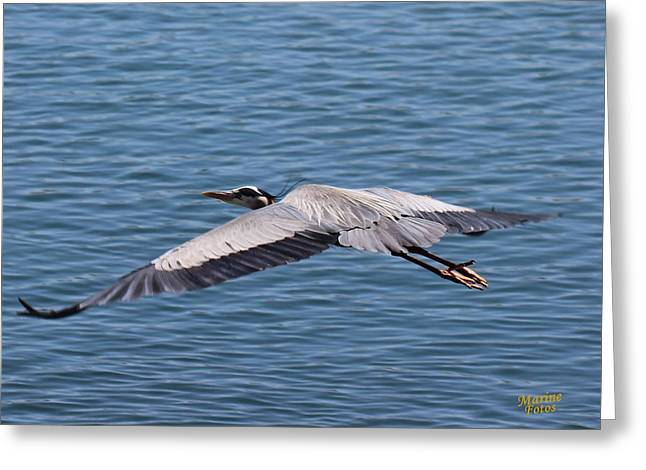 Great Blue Heron Flying Over Morro Bay Greeting Card
