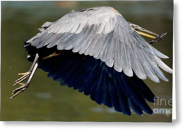 Great Blue Heron Flying With Fish Greeting Card