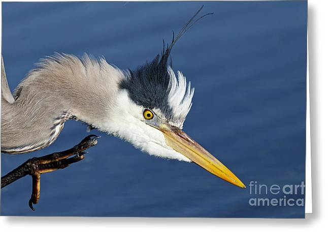 Great Blue Heron - Good Scratch Greeting Card
