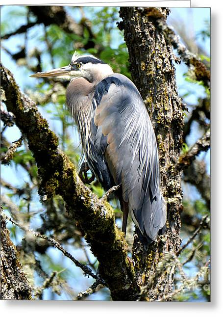 Great Blue Heron In A Tree Greeting Card