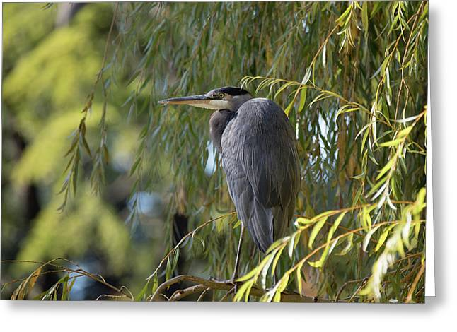 Great Blue Heron In A Willow Tree Greeting Card
