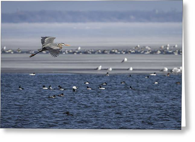 Great Blue Heron In Flight 2014-2 Greeting Card by Thomas Young