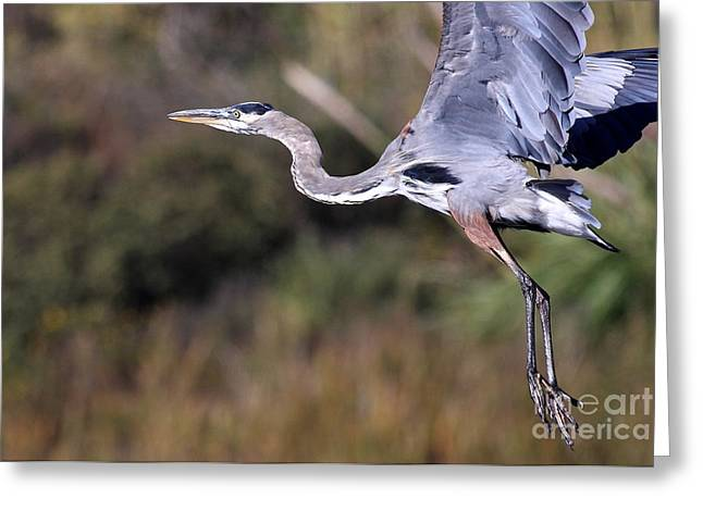 Animals Art Greeting Cards - Great Blue Heron in Flight Greeting Card by Animals Art