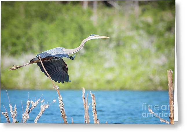Great Blue Heron In Flight  Ardea Herodias Greeting Card by Sandy Potere