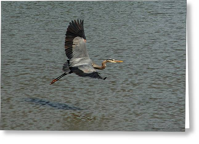 Greeting Card featuring the photograph Great Blue Heron In Flight by Kathleen Stephens