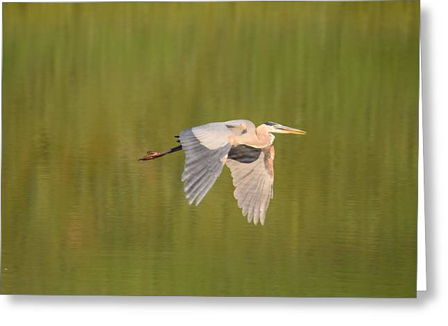 Greeting Card featuring the photograph Geat Blue Heron Burgess Res Divide Co by Margarethe Binkley
