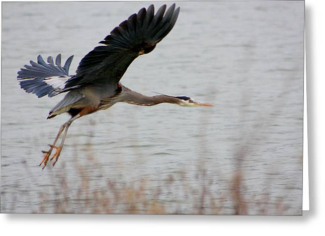 Great Blue Heron In Flight Greeting Card by Nick Gustafson