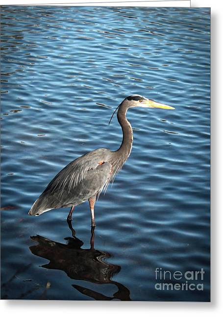 Great Blue Heron In Light Greeting Card by Carol Groenen