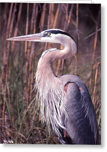 Great Blue Heron Greeting Card by Jack Cushman
