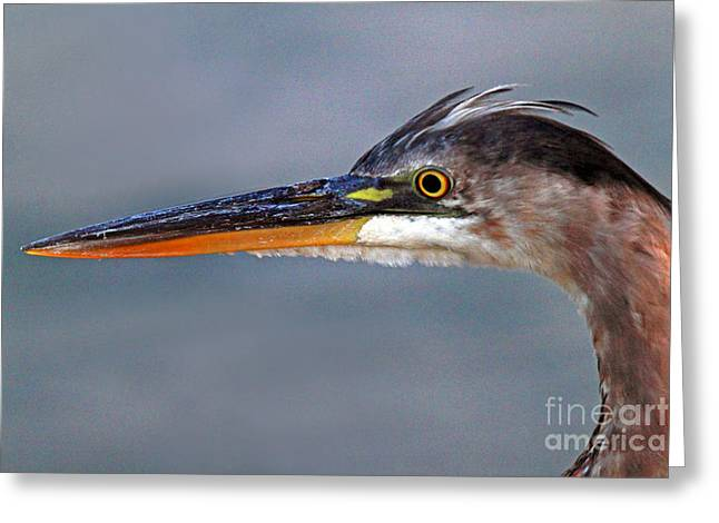 Great Blue Heron Greeting Card by Jim Beckwith