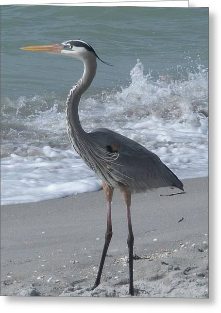 Great Blue Heron Greeting Card by Jeanette Oberholtzer