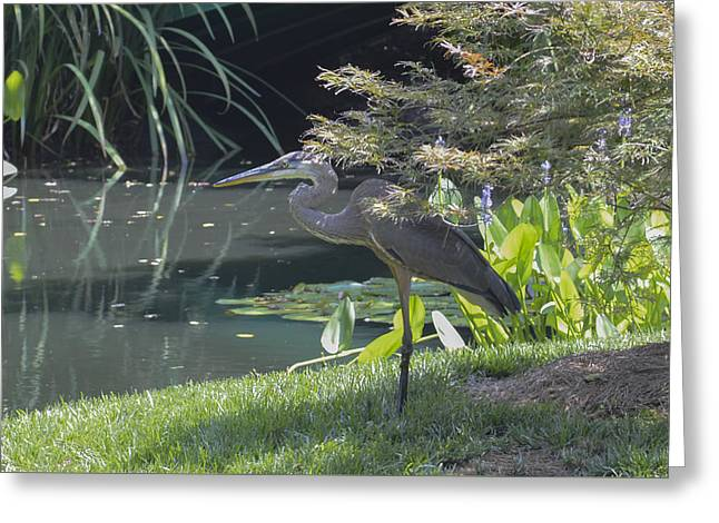 Great Blue Heron Greeting Card by Linda Geiger