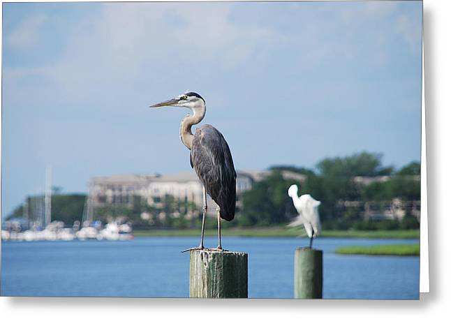 Great Blue Heron Greeting Card by Margaret Palmer