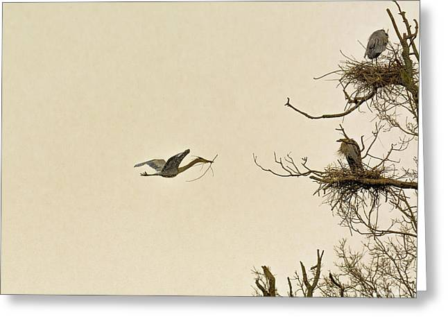Great Blue Heron Nest Building Greeting Card