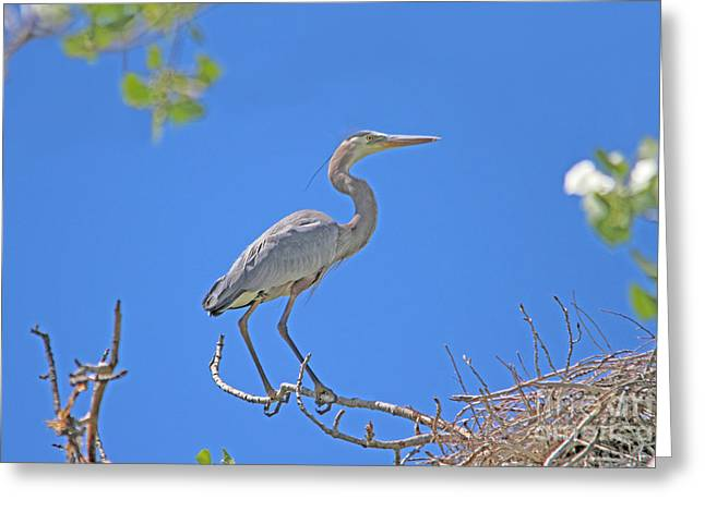 Great Blue Heron Nest Protector  Greeting Card