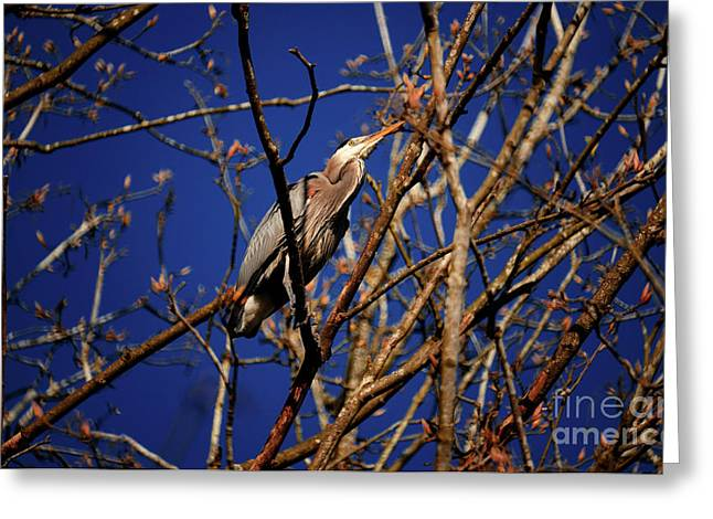 Greeting Card featuring the photograph Great Blue Heron Nesting 2017 - 1 by Terry Elniski