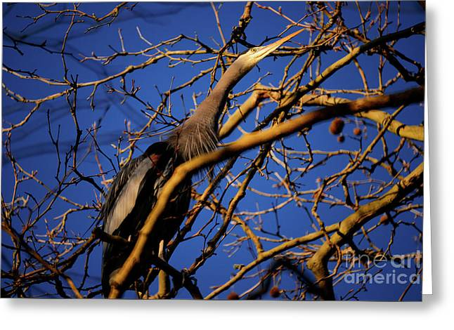 Greeting Card featuring the photograph Great Blue Heron Nesting 2017 - 3 by Terry Elniski