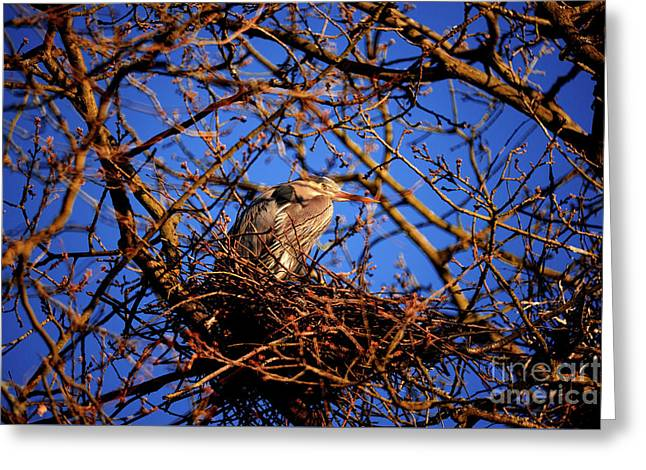 Greeting Card featuring the photograph Great Blue Heron Nesting 2017 - 4 by Terry Elniski