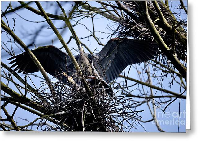 Greeting Card featuring the photograph Great Blue Heron Nesting 2017 - 9 by Terry Elniski