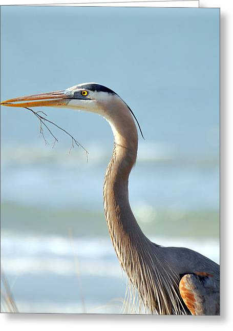 Great Blue Heron Nesting Greeting Card by Rose  Hill