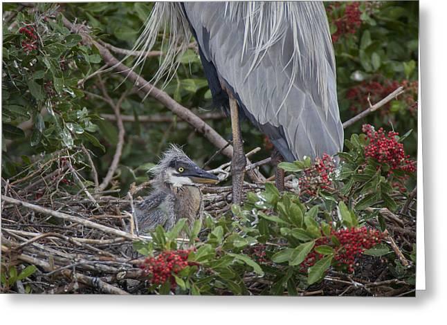 Great Blue Heron Nestling Greeting Card