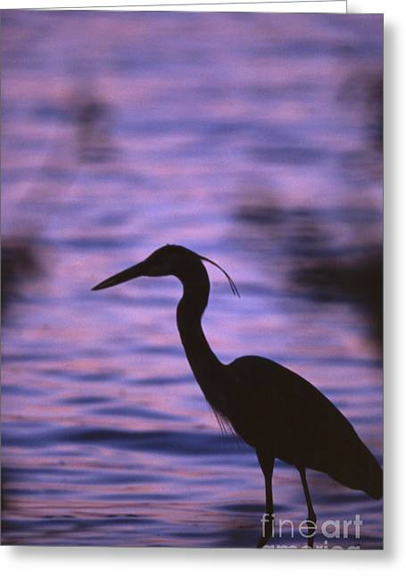 Great Blue Heron Photo Greeting Card