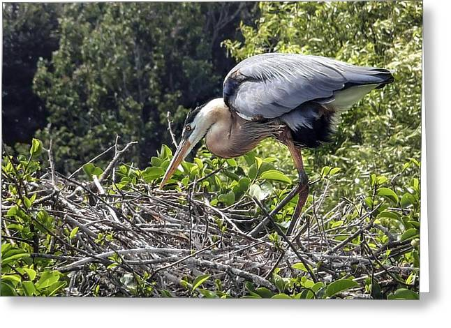 Great Blue Heron On Nest Greeting Card