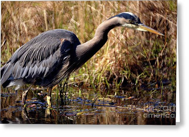 Greeting Card featuring the photograph Great Blue Heron On The Hunt 1 by Terry Elniski