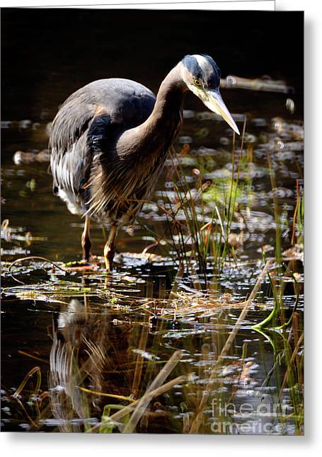 Greeting Card featuring the photograph Great Blue Heron On The Hunt 2 by Terry Elniski