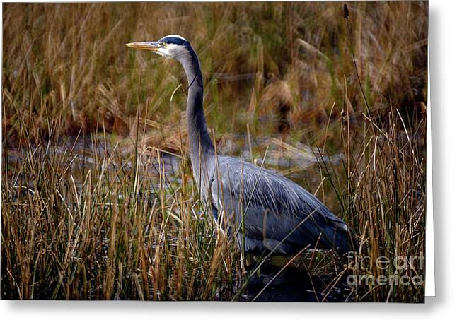Greeting Card featuring the photograph Great Blue Heron On The Hunt 3 by Terry Elniski