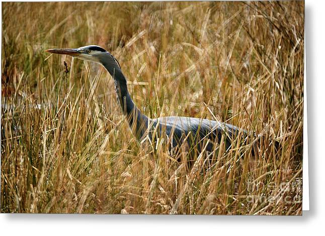 Greeting Card featuring the photograph Great Blue Heron On The Hunt 4 by Terry Elniski