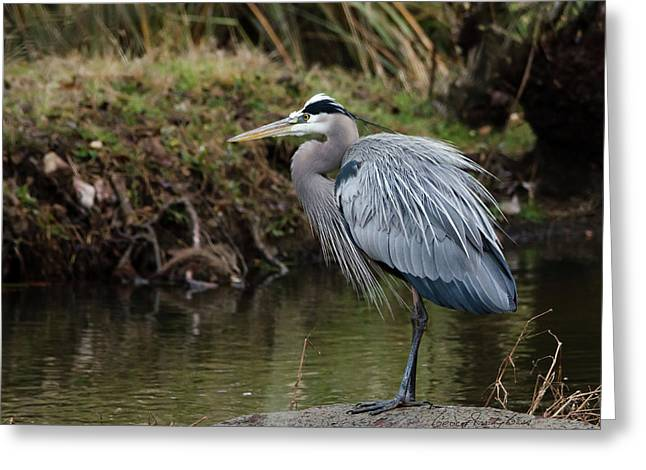 Greeting Card featuring the photograph Great Blue Heron On The Watch by George Randy Bass