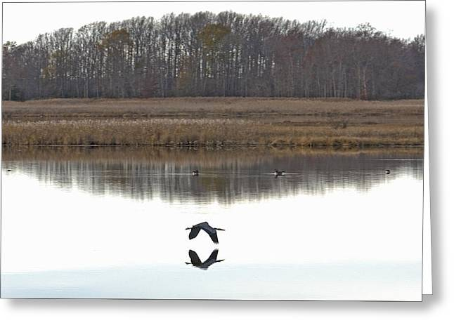 Great Blue Heron Over Glassy Water Greeting Card by Jennifer Nelson