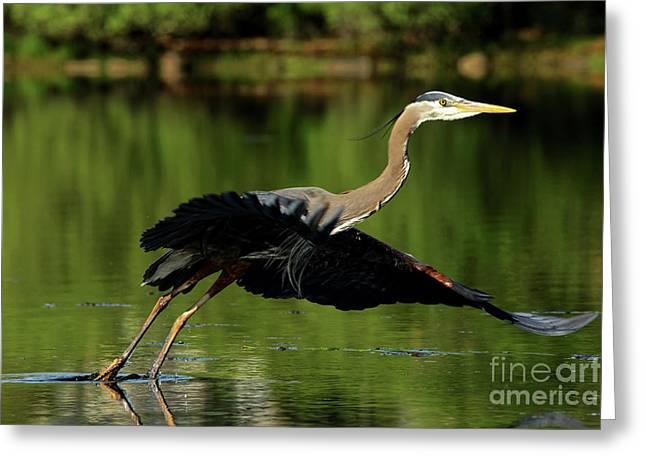 Great Blue Heron - Over Green Waters Greeting Card