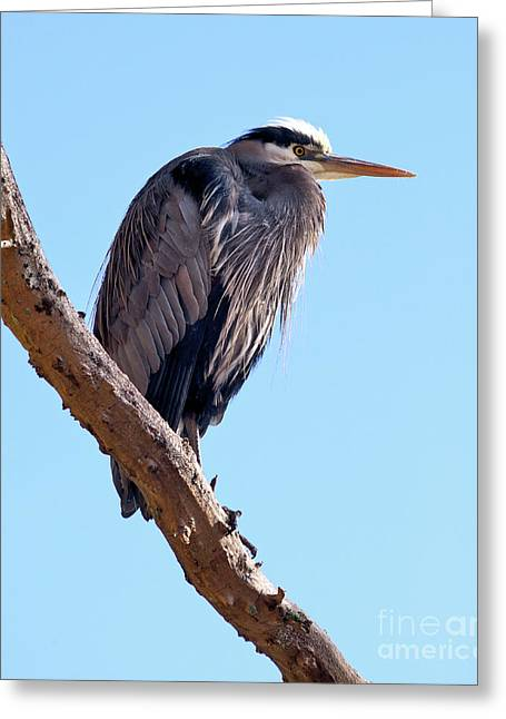 Great Blue Heron Perched On Tree Branch Greeting Card by Terry Elniski