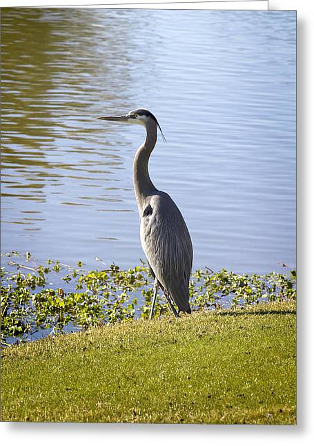 Greeting Card featuring the photograph Great Blue Heron by Phyllis Denton