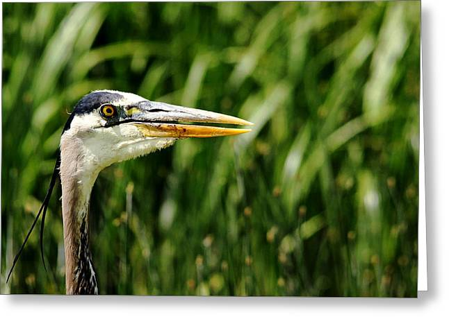 Greeting Card featuring the photograph Great Blue Heron Portrait by Debbie Oppermann
