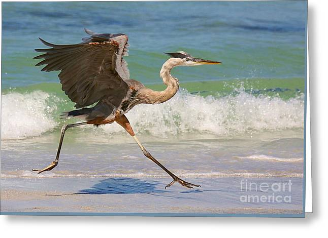 Great Blue Heron Running In The Surf Greeting Card by Myrna Bradshaw
