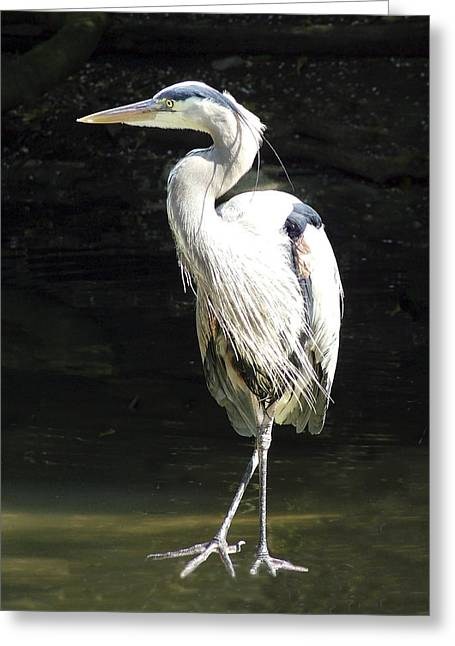 Great Blue Heron Standing Profile Greeting Card