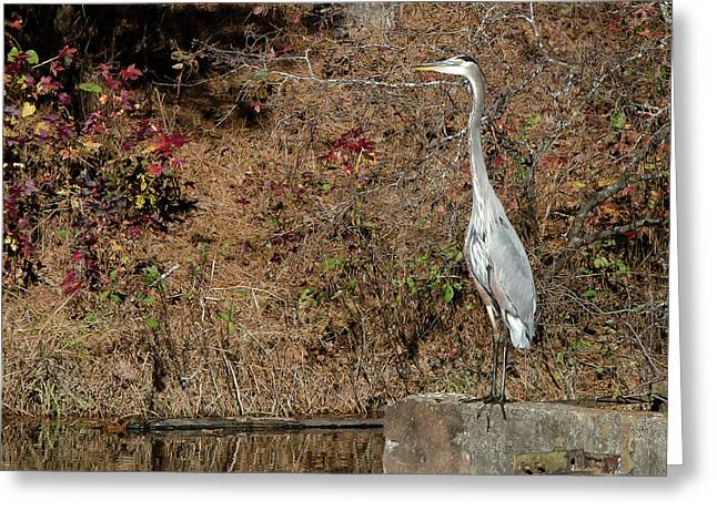 Great Blue Heron Standing Tall Greeting Card by George Randy Bass
