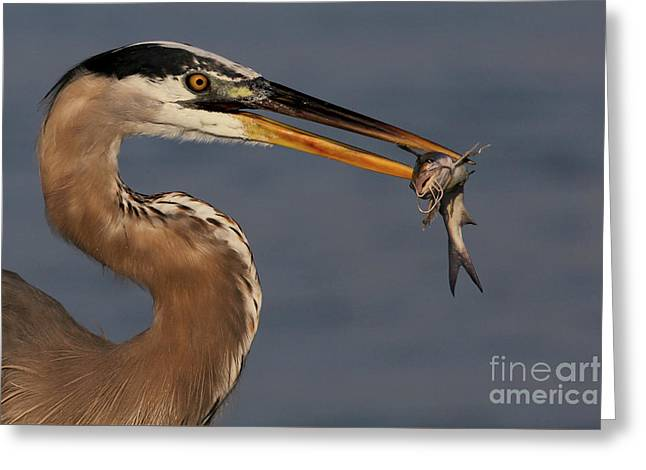 Great Blue Heron W/catfish Greeting Card