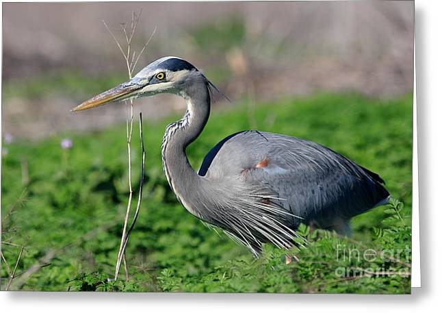 Great Blue Heron Greeting Card by Wingsdomain Art and Photography
