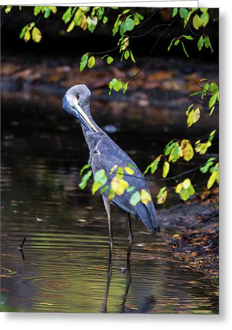 Great Blue Heron With An Itch Greeting Card