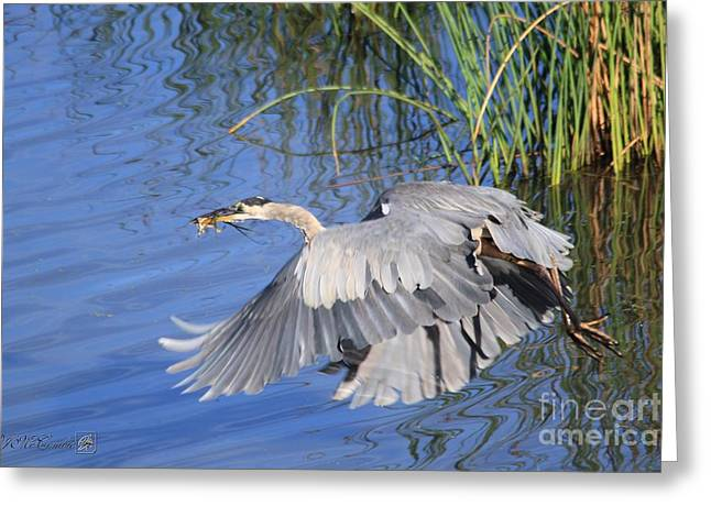 Great Blue Heron With Frog In Flight Greeting Card by J McCombie
