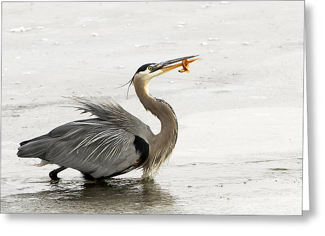 Great Blue Heron With Leech Greeting Card by Dennis Hammer