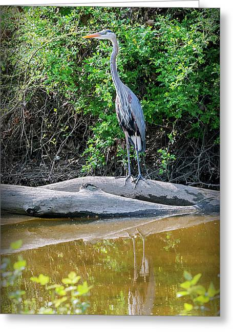 Great Blue Heron - Wye Mills Greeting Card by Brian Wallace