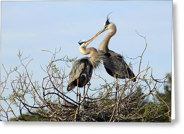 Great-blue Herons On Nest At The Venice Rookery, Florida Greeting Card