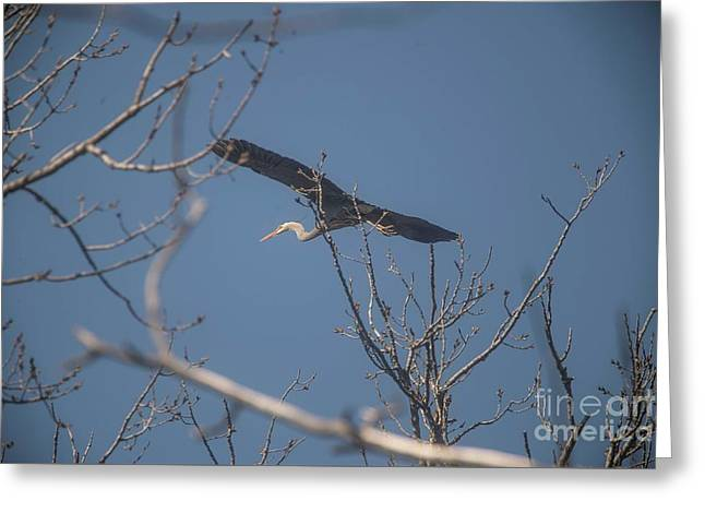 Greeting Card featuring the photograph Great Blue In Flight by David Bearden