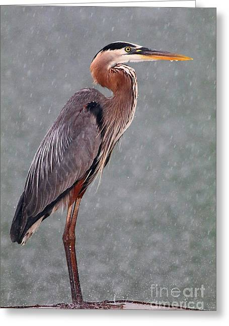Great Blue In The Rain Greeting Card